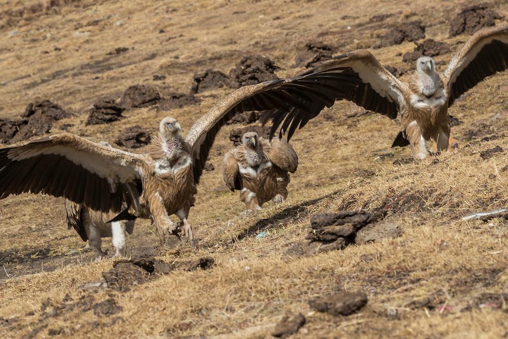 Himalayan griffon vulture, Gyps himalayensis, in mountain landscape, China, Sichuan Province, Garze Prefecture, Serxu County.