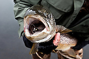 Big brown trout with a fly in the mouth. Veiðivötn, central highlands Iceland