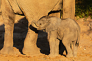 A small desert elephant calf (Loxodonta africana cyclotis) standing in the safety of its mother, Skeleton Coast, Namibia