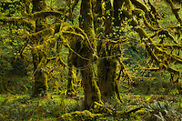 Large, moss covered vine maples in the Quinalt Rainforest, Olympic National Park, Washington