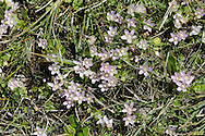 Bog Pimpernel - Anagallis tenella (Primulaceae) Creeping<br /> Delicate and attractive hairless perennial; has trailing stems and sometimes forms mats. Found on damp ground, such as bogs and dune slacks, and mainly on acid soils. FLOWERS are up to 1cm long, pink and funnel-shaped with 5 lobes; borne on slender, upright stalks (Jun-Aug). FRUITS are capsules. LEAVES are rounded, short-stalked and borne in opposite pairs.