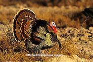 """00845-04809 """"Rio Grande"""" Wild Turkey (Meleagris gallopavo) male/gobbler strutting,  Starr Co.  TX"""