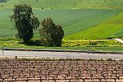 Israel, Jezreel Valley, vineyard