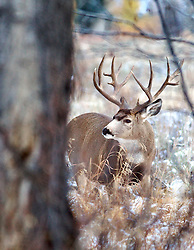 Trophy Buck Mule Deer, behind tree, fresh snow, Jackson Hole, Wyoming<br /> <br /> The story of this huge buck<br /> A trophy buck ~ through the years.<br /> http://daryl-hunter.net/a-trophy-buck-through-the-years