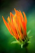closeup of a flower with orange petals