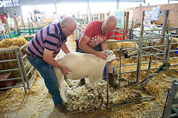 © Licensed to London News Pictures. 23/07/2017. Llanelwedd, UK. A  Defaid Beltex sheep is about to be groomed on the eve of the Royal Welsh Show. The Royal Welsh Agricultural Show is hailed as the largest & most prestigious event of its kind in Europe. In excess of 200,000 visitors are expected this week over the four day show period. The first ever show was at Aberystwyth in 1904 and attracted 442 livestock entries. Photo credit: Graham M. Lawrence/LNP
