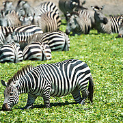A herd of zebras in the water of a small reed-covered lake at Tarangire National Park in northern Tanzania not far from Ngorongoro Crater and the Serengeti.