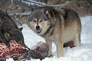 Timber or Grey Wolf, Canis Lupus, Minnesota USA, controlled situation, in snow, winter, wolf pack on deer kill, snarling
