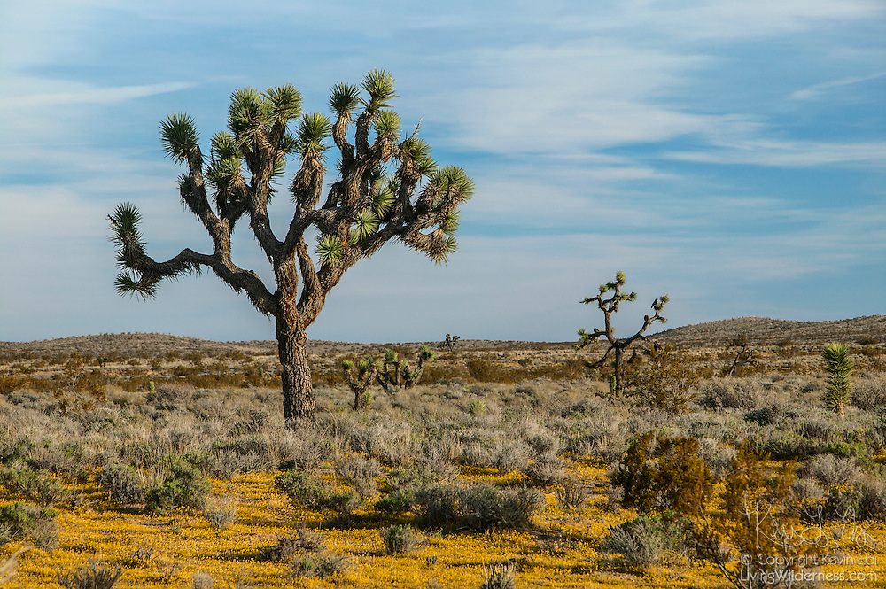 Several Joshua Trees (Yucca brevifolia) grow in a carpet of goldfields (Lasthenia chrysotoma) in the Indian Wells Valley, northeast of Mojave California.
