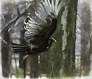 """On a rainy April day, this turkey vulture graced me with the spread of its wonderful wings as it flew off in a blur from a nearby fence post. I couldn't believe my luck. <br /> <br /> <br /> For IMAGE LICENSING just click on the """"add to cart"""" button above.<br /> <br /> Fine Art archival paper prints for this image as well as canvas, metal and acrylic prints available here: https://2-julie-weber.pixels.com/featured/turkey-vulture-julie-weber.html"""