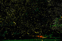 Firefly Trails. Composite of nearly 400 images taken with a Fuji X-T1 camera and 55-200 mm lens (ISO 1600, 100 mm, f/5.6, 30 sec). Raw images processed using Capture One Pro and the composite using Photoshop CC (statistics/maximum).