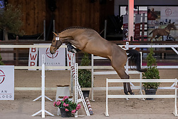 020, Suives Moi STB<br /> BWP Hengstenkeuring 2021<br /> © Hippo Foto - Dirk Caremans<br />  12/01/2021