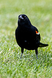 Red-winged Blackbird (Zenaida macroura)
