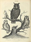Strix is a genus of owls in the typical owl family (Strigidae), one of the two generally accepted living families of owls, with the other being the barn-owl (Tytonidae). Common names are earless owls or wood owls. Copperplate engraving From the Encyclopaedia Londinensis or, Universal dictionary of arts, sciences, and literature; Volume XXIII;  Edited by Wilkes, John. Published in London in 1828
