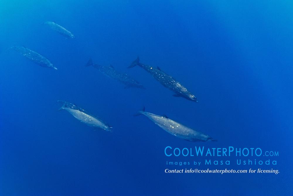 pod of Blainville's beaked whales or dense-beaked whales, Mesoplodon densirostris, Kona Coast, Big Island, Hawaii, USA, Pacific Ocean