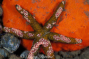 six-arm sea star, Echinaster luzonicus, with commensal ctenophores or comb jellies, Coeloplana astericola, Tulamben Bay, Bali, Indonesia