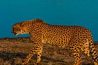 Cheetah walking, near Kwara Camp, Okavango Delta, Botswana.
