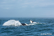 southern resident orca, or killer whale, Orcinus orca, juvenile and adult breaching together in a double breach, off southern Vancouver Island, Strait of Juan de Fuca, British Columbia, Canada ( Eastern North Pacific Ocean ); #4 in sequence of 5
