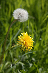 Dandelions growing on an allotment,
