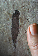 The discovery of a fossil feather in Solnhofen Limestone Quarry in 1860 was a prelude to Archaopteryx, found one year later in the same quarry system.