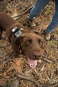 CJ, a chocolate lab working as a trained wildlife detector dog, tries to find bat roosting sites. Coconino National Forest, Arizona.