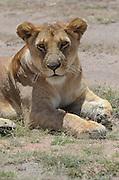 Kenya, Masai Mara, Lioness rests in the shade