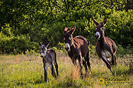 Wild burros in  Custer State Park, South Dakota, USA