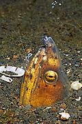 Shrimp cleans Black-finned Snake Eel.(Ophichthus melanochir).Lembeh Straits, Indonesia