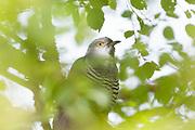 Cuckoo (Cuculus canorus) perched in tree. Surrey, UK.