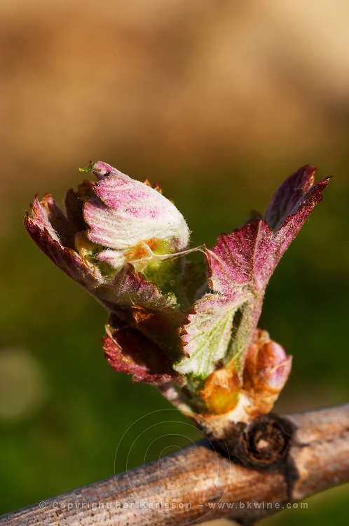 bud burst on the vine and counter-bud contre-bourgeon chateau pey la tour bordeaux france