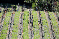 2014 March 20:  Workers tending to young vines waking up in Spring in the Napa Valley wine region.  Stock Photos