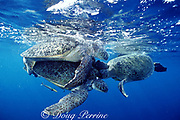 mating green sea turtles, Chelonia mydas, are attacked by another male eager to get in on the action, <br /> Sipadan Island, Borneo, Malaysia ( Celebes Sea, Pacific Ocean )