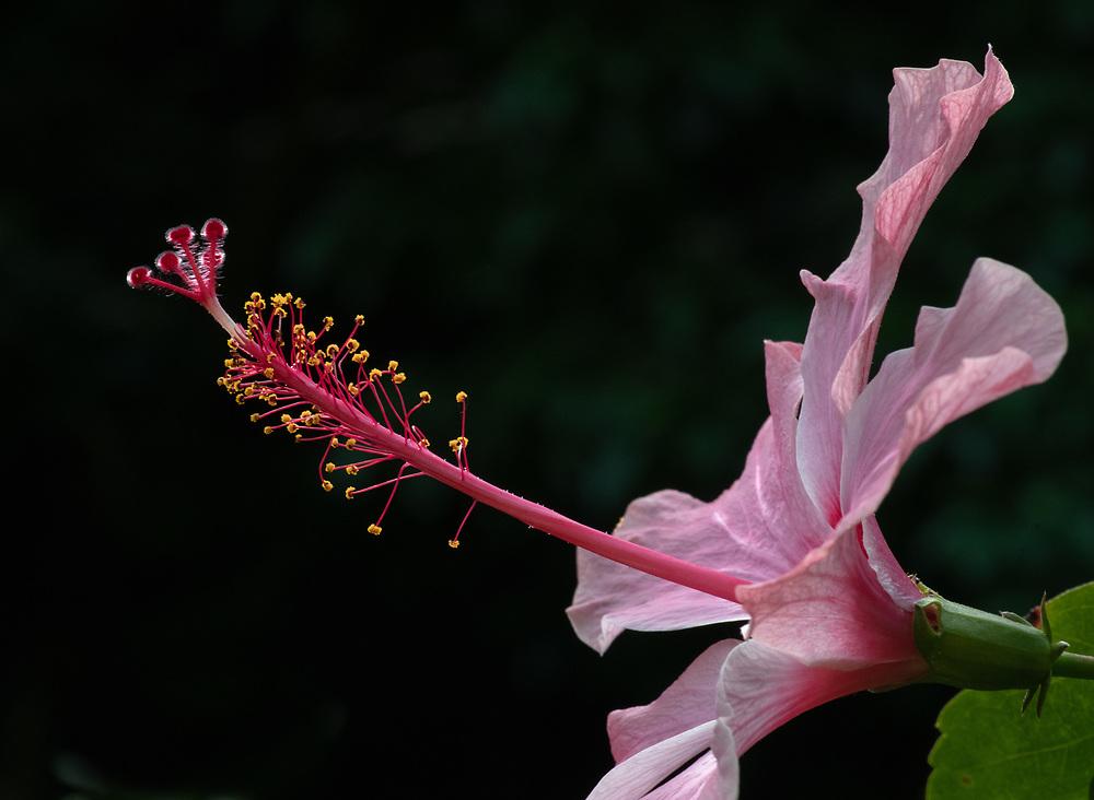 Hibiscus Antenna