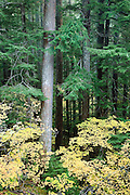 A conifer forest with mixed size trees and  autumn colored vine maple understory grows along the Ohanapecosh River in the Gifford Pinchot National Forest, Washington, USA