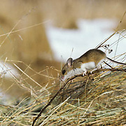 Deer Mouse (Peromyscus maniculatus) adult on a dead weed stem in a field,  foraging for food during the fall season.
