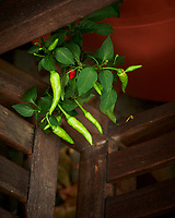 Hot Peppers. Image taken with a Nikon D850 camera and 60 mm f/2.8 macro lens