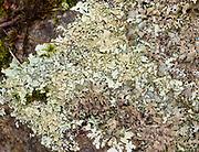 Shield or Waxpaper Lichen