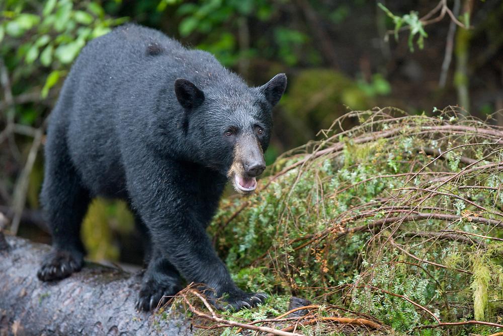 USA, Alaska, Kake, Black Bear (Ursus americanus) pops his jaw in threat display while walking on downed tree trunk along Gunnuk Creek