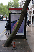 A tree leans at a dangerous angle, alongside a bus shelter in Holborn, on 24th May 2021, in London, England.