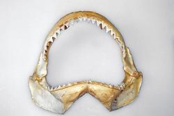 Bull Shark Jaw