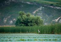 Grey Heron (Ardea cinerea) wading in small lake of the aquatic komplex Somova-Parches, close to Somova village, upper Danube Delta, Romania
