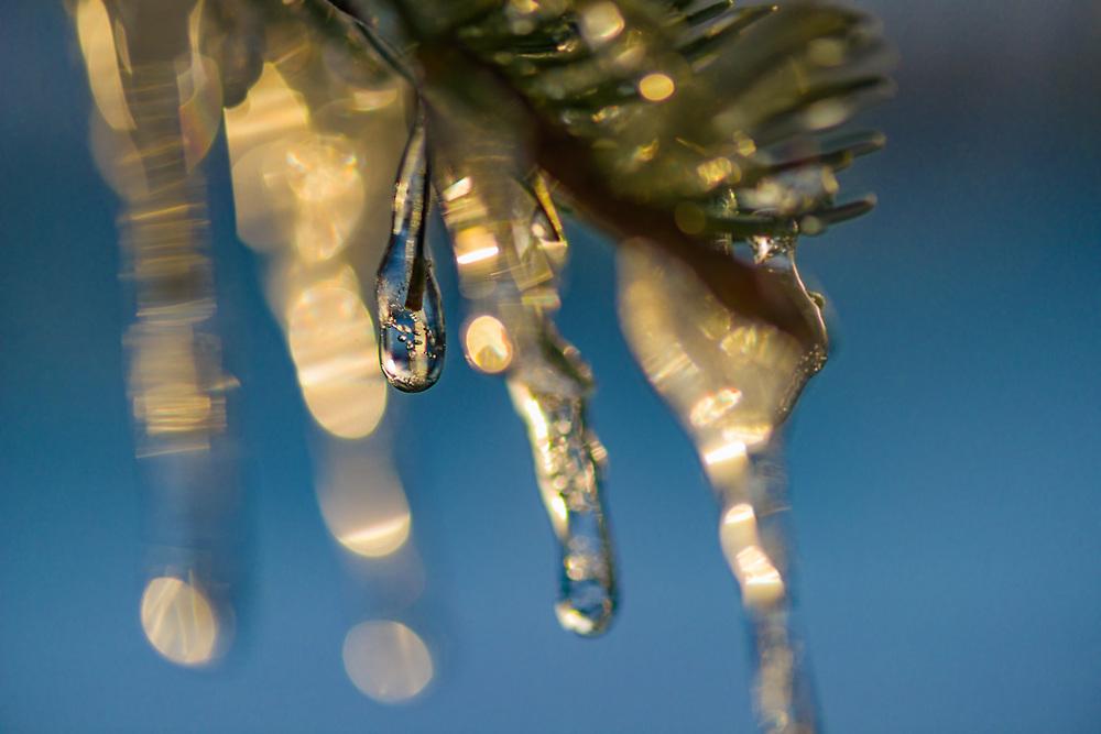 Icicles on a fir tree, evening light, April, Hurricane Ridge, Olympic National Park, WA, USA