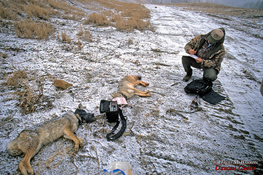 John Cox Checking Frequency Of Collars On Anesthetized Coyotes