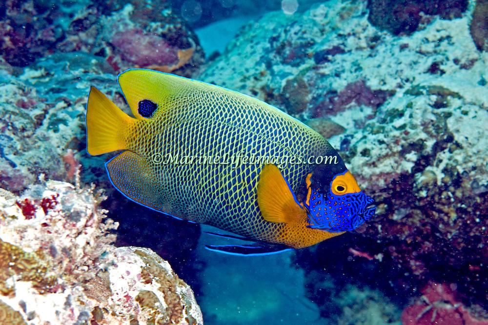 Yellow-mask Angelfish inhabit reefs. Picture taken Palau.