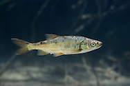 Roundtail Chub<br /> <br /> Isaac Szabo/Engbretson Underwater Photography