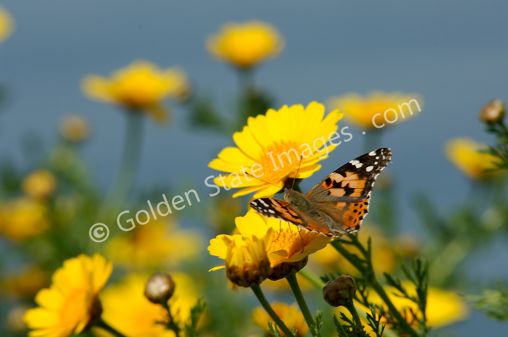 Also known as the Thistle Butterfly the Painted Lady is the most widely distributed butterfly in the world.<br />   <br /> Range: Found worldwide except Australia and Antarctica  <br />   <br /> Species: Vanessa cardui