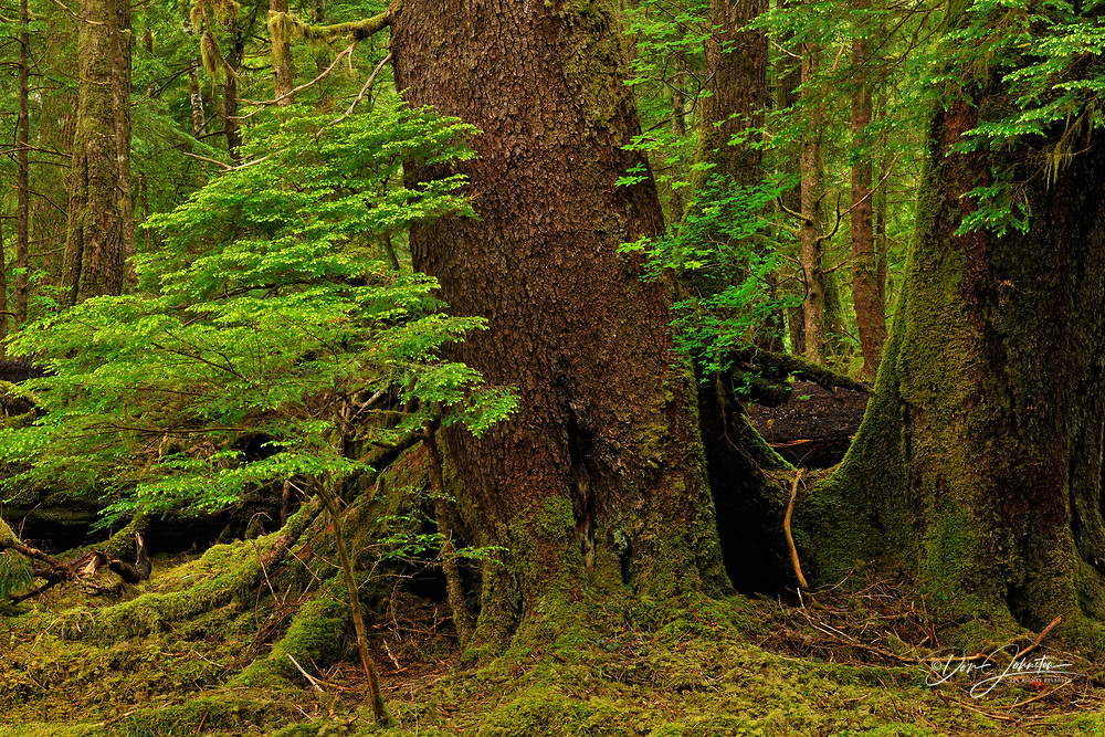 Temperate rainforest at Anna Inlet- Sitka spruce sapling and mature tree, Haida Gwaii (Queen Charlotte Islands) Gwaii Haanas NP, British Columbia, Canada