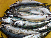 Freshly caught mackerel at Miavaig Harbour near Uig, Isle of Lewis, Outer Hebrides, Scotland on 17 July 2018
