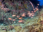 The Bigscale Soldierfish, Myripristis berndti, is a member of the Squirrelfish or Holocentridae Family, that is also known as the Blotch-eye Soldierfish.