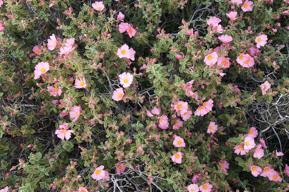Small-flowered Cistus (Cistus parviflorus), Karpaz peninsula, Cyprus